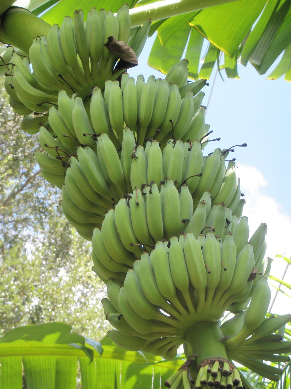 Great Deals On Bananas And Papayas Planted Or Not Planted