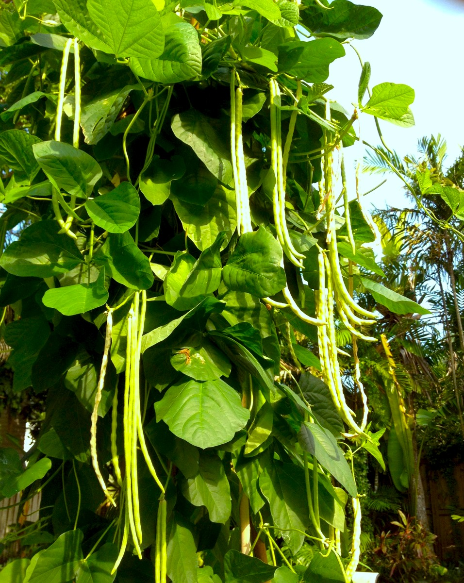 Yard Long Bean The Ultimate Green Bean For Your South Florida Summer Veggie Garden
