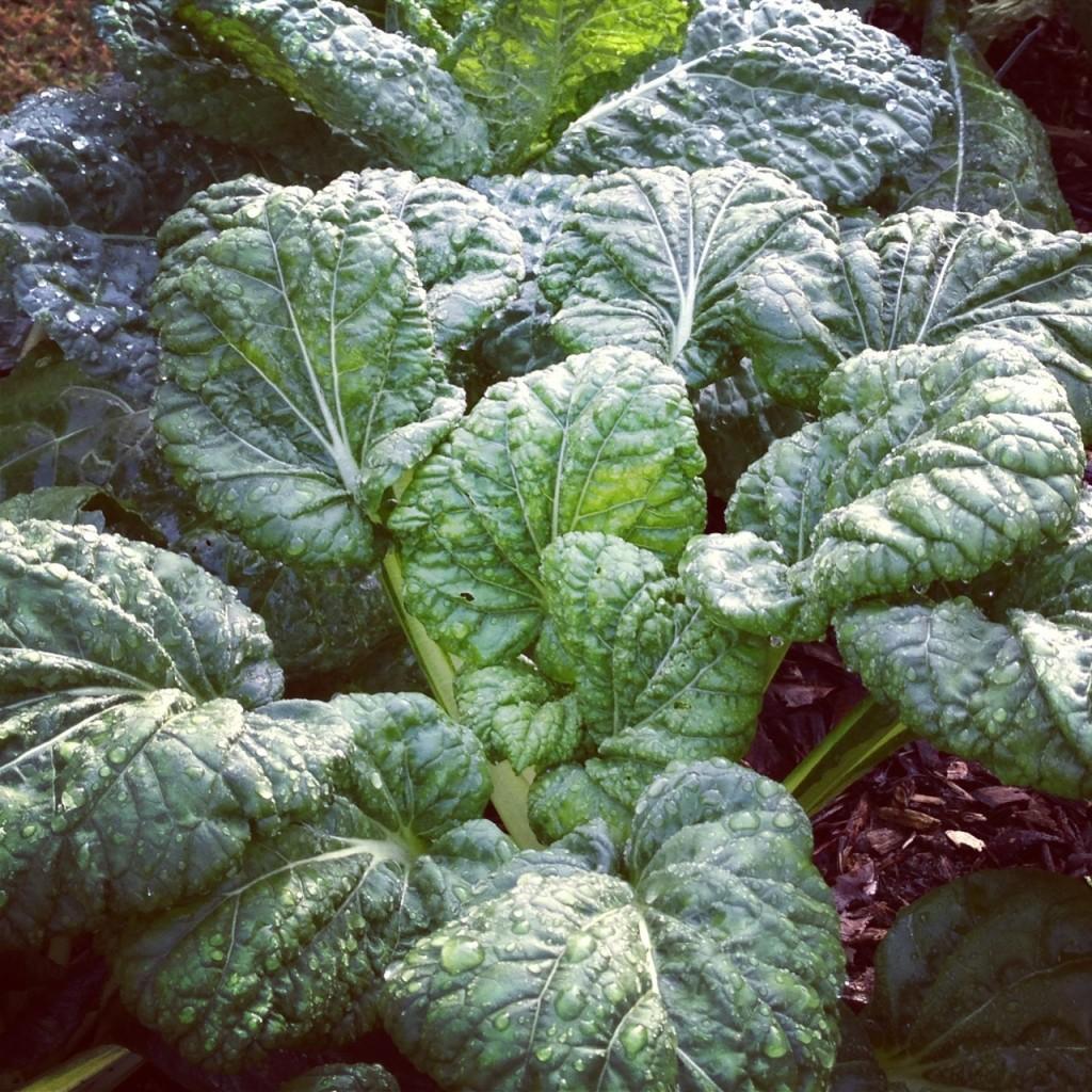 Yukina Savoy Asian Spinach
